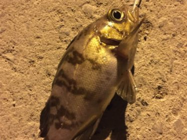 2017年1月 初釣り 仙台港・メバル・ライトロック