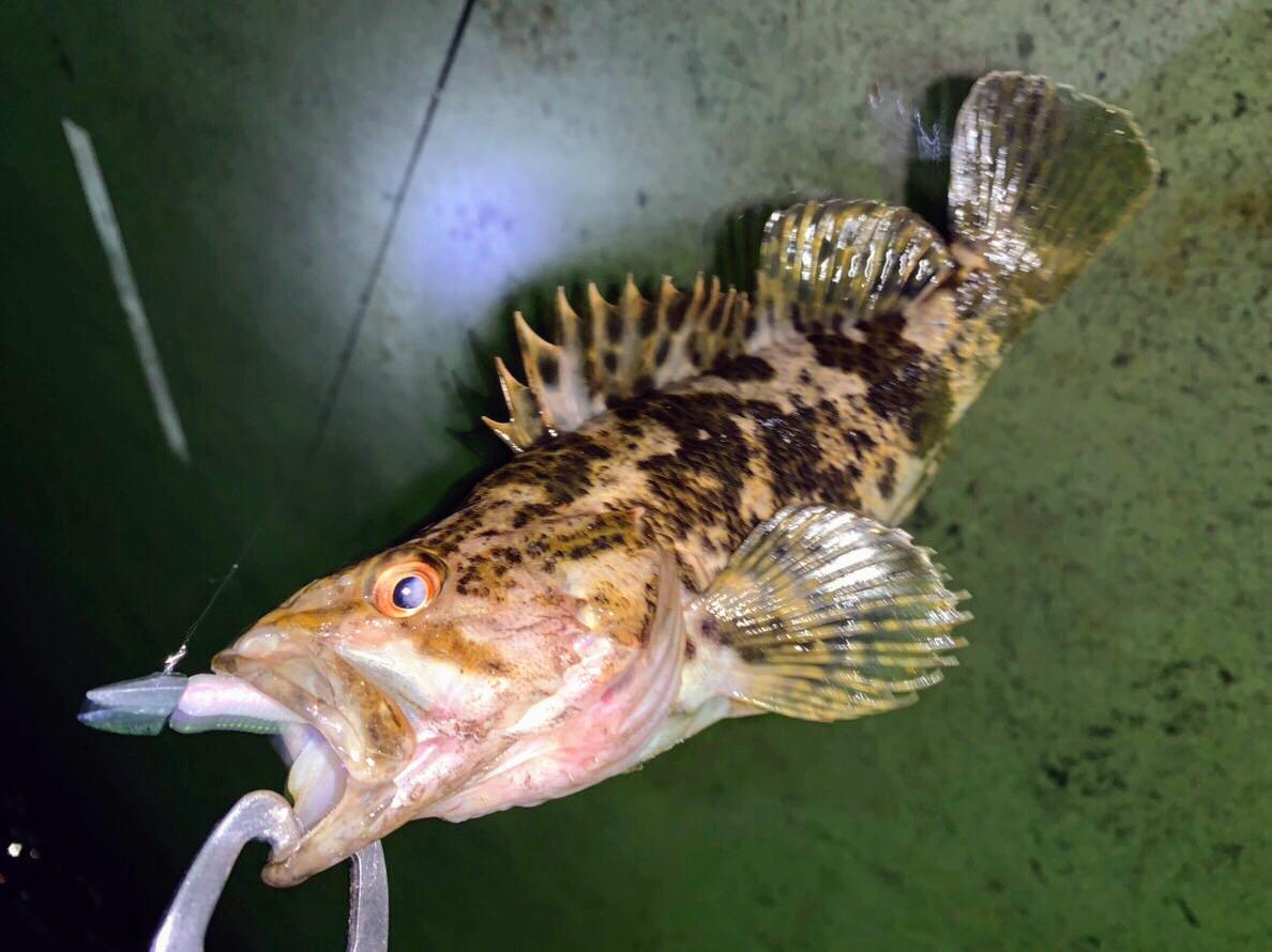 2018.11.22 七ヶ浜で釣り(タケノコメバル・アイナメ・メバル・ライトロック)